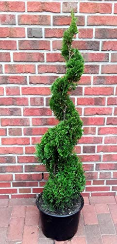 Thuja Spirale, Höhe: 150-160 cm, Smaragd-Edelthuja, Formpflanze, winterhart + Dünger
