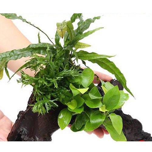 (水草)アヌビアスナナ ゴールデン&ミクロソリウム2種付流木 Lサイズ(1本) 本州・四国限定[生体]