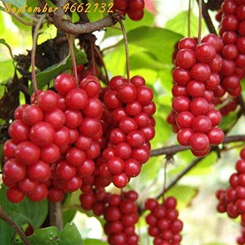 SANHOC bunt 100 Stück Schisandra Bonsai-Baum-Frucht bonasi Baum für Hausgarten Pflanze Chinese Magnolia Rebe Eßbares Obst Bonsai Topf: 2