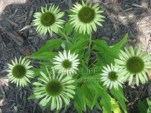 GEOPONICS 30PCS 'Green Jewel' Echinacea-Blumensamen, Sonnenhut Bonsai sät DIY Hausgarten