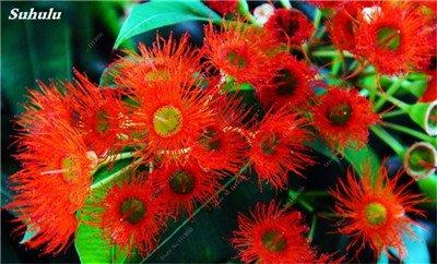 100 PC/Beutel seltene Regenbogen-Eukalyptus-Blüte Samen, Tropischer Baum Samen, Eukalyptus-Anlage für Hausgarten Zier Bonsai 5