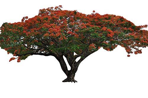 Flammenbaum (Delonix regia) 10 Samen