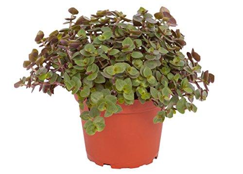 Calllisa ('Schönpolster') Futterpflanze für Nager, Vögel, Schildkröten und Reptilien (1)