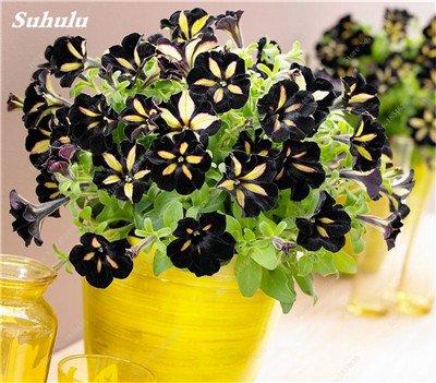 50 Pcs Pétunia Graines de fleurs pétunias Jardin Bonsai Balcon Petunia hybrida Flower Seed Plantes décoratives pour jardin 9