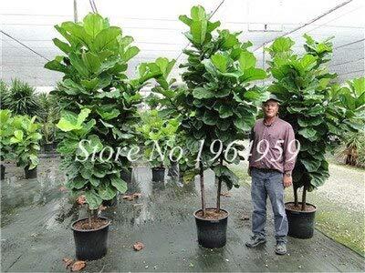 RETS Bonsai 50 PC chinesische Ficus benjamina Bonsai Pflanzen Blumen Topf Bonsai Variety komplette Hausgarten-Anlagen Easy Grow: 7