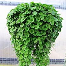 100pcs Dichondra Seed Dichondra Repens Lawn Seeds Money Grass Hanging Decorative Garden Plants Do Flower Seeds for Home Garden