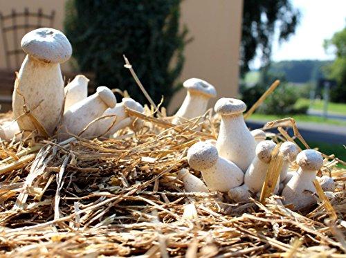 Bio Kräuterseitling Substratbrut - Pilze selber züchten