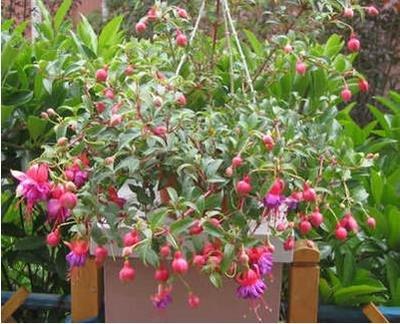 lanternes Fuchsia / fleurs / graines de fleurs balcon intérieur salon / Begonia de Bell pot graines de fleurs 100 graines 12