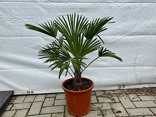 Trachycarpus Wagnerianus Palmier Wagneranus 90 cm Hauteur 20/30 cm