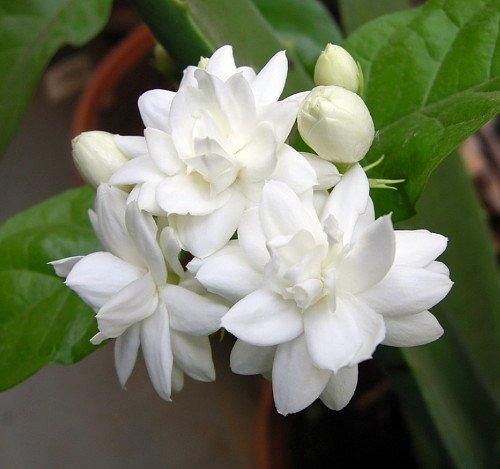 Best Summer Flower -Jasmine
