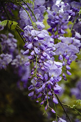 Wunderschöne Kletterplanze - Chinesischer Blauregen - Wisteria sinensis- verschiedene Größen (100+ cm Topf 3 Ltr.)