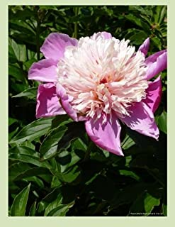 Peony Blank Book Lined 8.5 X 11: 8.5 by 11 inch 100 page lined blank book suitable as a journal, notebook or diary with a ...
