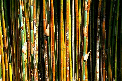 Home Comforts LAMINATED POSTER Plant Houten Bomen Gras Snel Groeiende Bamboe Poster Print 61 x 91.5