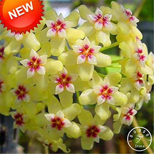 RETS Sale!Fuchsia Ball Orchid Bonsai Hoya Carnosa as Potted Orchid Flower Garden s 100 Pcs/Pack,