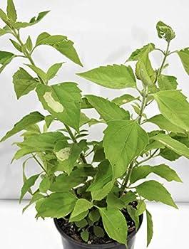 Best rompe saraguey planta Reviews