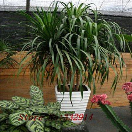 Hot Sale yyDeal! Multi Les Couleurs de Graines Bonsai Dracaena Jardin Graines de fleurs vivaces Embellir