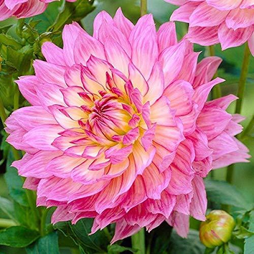 Rare graines de Multicolor,20 pcs Dahlia Graines De Fleurs en Pot, Easy Living Indoor Flower Seeds-S,vivaces graines Fleurs ornementales