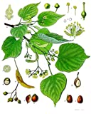 Linde 20 Samen (Heimischer Baum - Winterhart) Auch Bonsai geeignet< -
