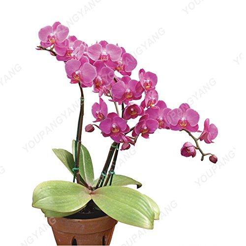200 pcs Orchid Seeds simulation haute fleur d'orchidée de Phalaenopsis Plantes Phalaenopsis Orchidées Graines Bonsai DECORATIFS Violet