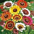 Outsidepride Chrysanthemum - Painted Daisy