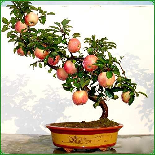 CFPacrobaticS 20 Stück/Packung Bonsai Apfelbaum Samen Balkon Topf Samen Obst Leicht Wachsen, Home Farm Hof Pflanzen, Dekoration Garten Geschenke