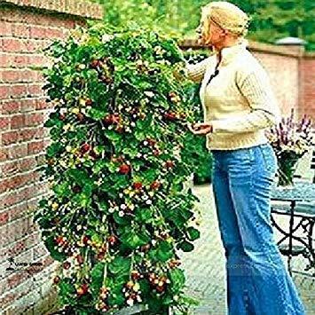 Seltene Rote Klettererdbeere Bio Samen, Professionelle Packung, 100 Samen/Pack, Saftige Süße Bonsai Obst Samen E3066