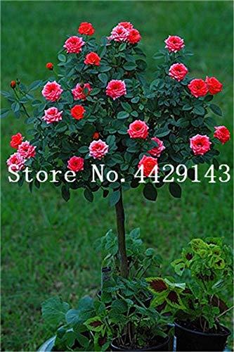 100 Stück Seltener Rosenbaum Blume Mini Rose Rose Tree Mini Bonsai Kletterrose Blume Bonsai für Hausgarten: 8