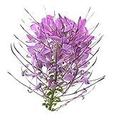 I semi di Cleome fioriscono in tutte le stagioni, facili da piantare, balcone vivo, giardino verde, 300 compresse