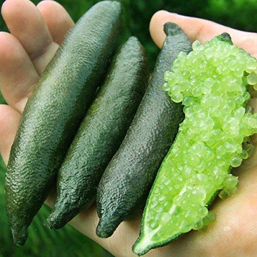 Inovey 20 Pcs/Pack Finger Limes Agrumes Orange Jardin Balcon Bonsaï Arbres Fruitiers Planter des Graines - Jaune