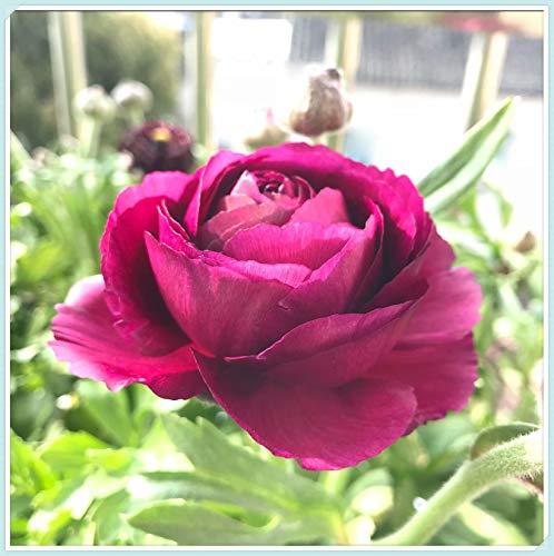 Ranunculus Bulbs - Bedding Plants Perennial Balcony Roots Bulbs Charming Home Perennial Gifts,Purple,15 Bulbs