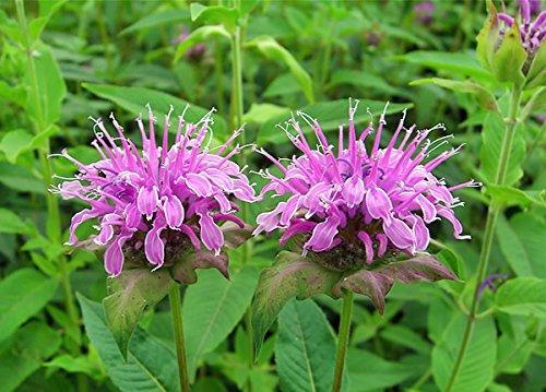 200+ Wild Bergamot Seeds Heirloom Non-GMO Fragrant Mintleaf Bee Balm Oswego Tea...