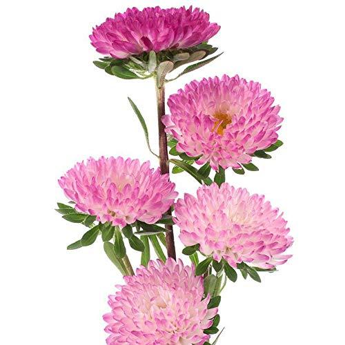 XINDUO Fleurs Sauvages en mélange Graines,Aster Quatre Saisons Facile à Planter Couleur mélangée Double pétales Fleur Simple mer graines-0,5 kg,Graines De Printemps Vivaces
