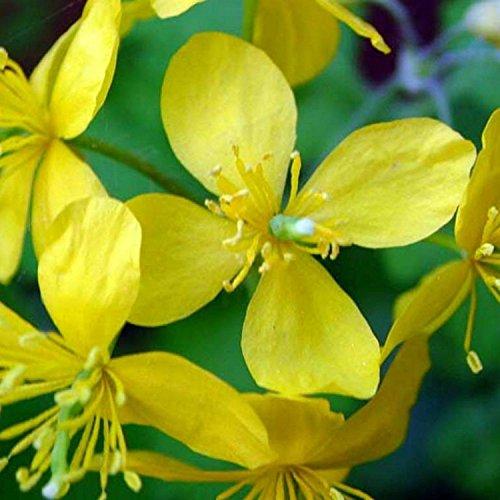 RWS Schöllkraut - Chelidonium majus - ornamentales u. Medicinal planta - tóxicos - 200 semillas