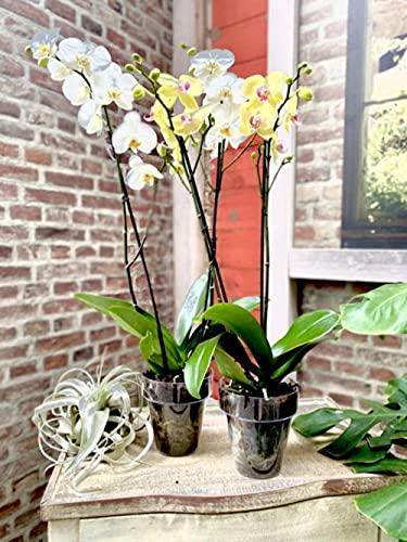 Vaso e sottovaso trasparente per orchidea Ø14 4 PEZZI