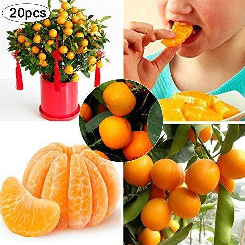 Zhouba Orangenbaum Samen für Hof Gartenpflanze, 20 Stück Orangenbaum Samen Garten Innen Balkon Topf Bonsai-Zwerg Obstpflanzen von Zhouba