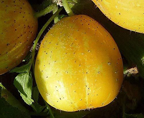 Organische wahre Zitronen-Gurken-Samen - australischer Erbstück-Garten-Gemüsesamen