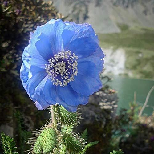 Beautytalk-Garten 100 Stück Kalifornischer Mohnblumen Samen Gartenmohn Blumensamen Landschaft Blumen Garten Grün Pflanzen- winterhart mehrjährig