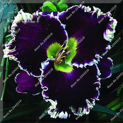 Hybrid Mix Schwarz Taglilie Blumen Samen Seltene Farbe Hemerocallis Samen New Day Lilien-Samen-Garten Topfpflanzung Blume 100 Stück