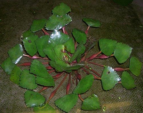 Mühlan - 5 Wassernüsse als Schwimmpflanzen für den Gartenteich/Teich, dekorativ und algenhemmend