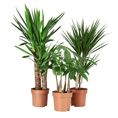 Sense of Home Zimmerpflanzenset Groß - 3 Pflanzen im Set - 45-65cm - trendige & pflegeleichte Indoor-Pflanzen mit großen Blättern