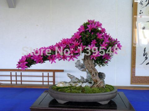 Jolie Bonsai petite plante, Graines Mini pot Rose Cherry Tree 10 Piece