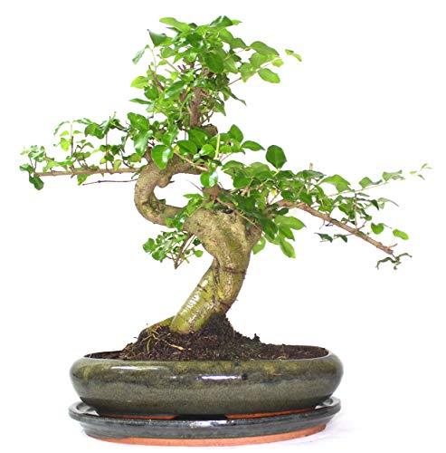 Ligustrum (árbol mandarín) Bonsai árbol S tronco – Suministrado con bandeja de goteo de cerámica, Árbol solo sin cuidado conjunto