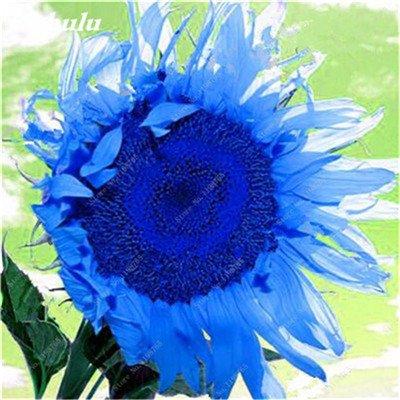 Nouveautés 40 Pcs Graines de tournesol bio mixte Helianthus annuus Graines d'ornement semences de fleurs de tournesol russe plante pour jardin 1