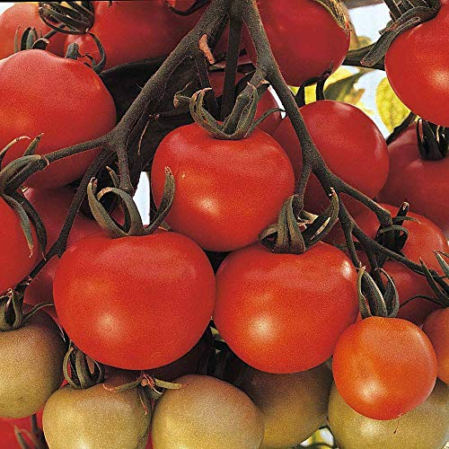 Tomato Seeds 'Ailsa Craig' Half-Hardy Annual Garden Plants Easy to Grow Your Own for Veg Patch Allotment Tomato Seeds 'Ailsa Craig' 1 Packet of 50 Seeds by Thompson and Morgan