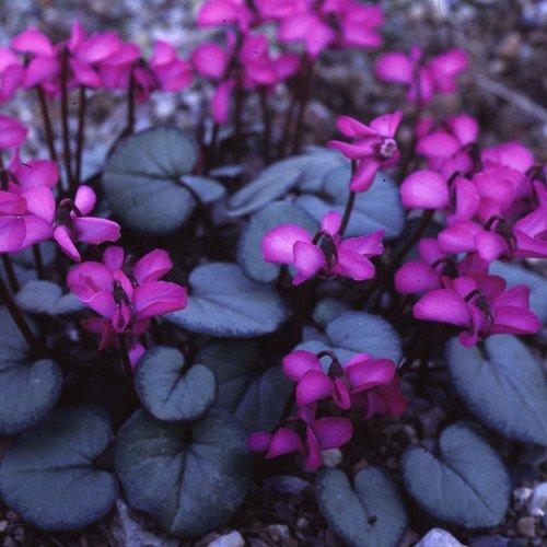 Plant World Seeds - Cyclamen Coum Seeds