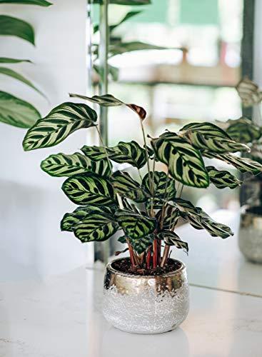 "AMERICAN PLANT EXCHANGE Calathea Makoyana Peacock Prayer Plant Houseplant, 6"" Pot, Indoor Air Purifier"