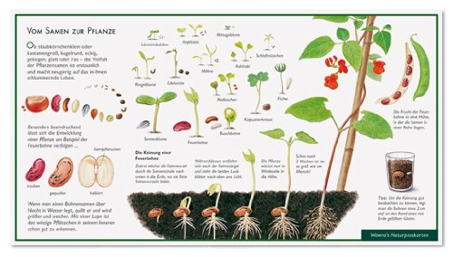 Die Feuerbohne - Vom Samen zur Pflanze - Wawra Naturpostkarte zum Entdecken, Beobachten, Bestimmen - 22 cm x 12 cm