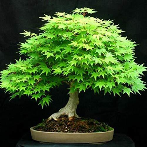 Benoon Semillas De árboles De Arce, 30Pcs / Bolsa Semillas De árboles De Arce Prolífico Multiuso...