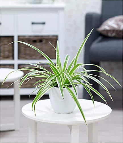 BALDUR Garten Chlorophytum Variegatum, 1 Pflanze Luftreinigende Zimmerpflanze Grünlilie Zimmerpflanze pflegeleicht