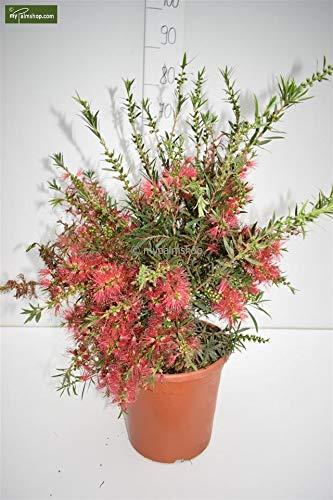 Callistemon Australischer Lampenputzer Zylinderputzer Zierpflanze Zitronenduft - verschiedene Größen (60-70cm - Topf Ø 26cm)